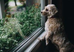 fuzzy-dog-looks-out-window_925x
